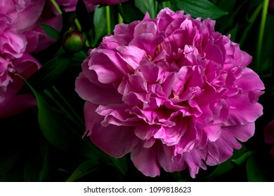 cut gorgeous blossoming violet peony flower, shot in front of  a black backdrop, in springtime at Milan, Italy
