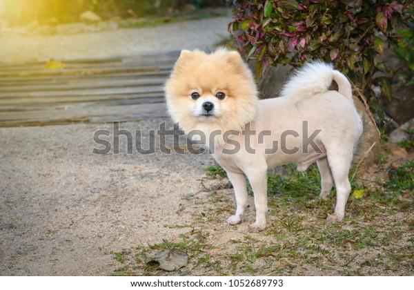 Cut Hair Pomeranian Dog Like Lion Stock Photo (Edit Now) 1052689793