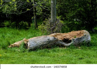 Cut a large old tree is left to rot in a clearing