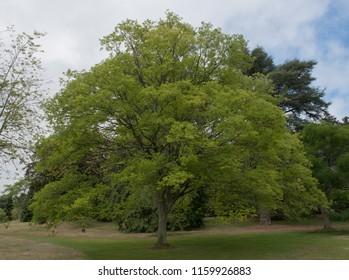Cut Leaf Zelkova Tree (Zelkova x verschaffeltii) in Parkland in Rural Devon, England, UK