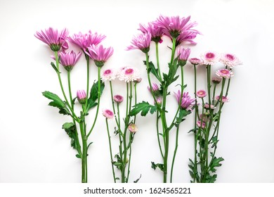 Cut, long-stemmed purple Chrysanthemums on white background.