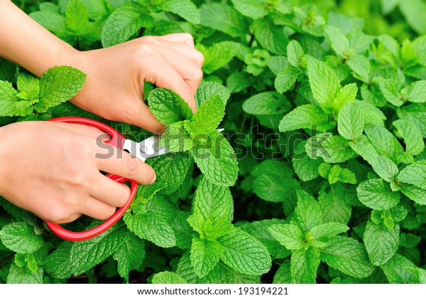 cut mint leaves in garden