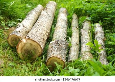 Cut oak in the cut. Rings of young oak. In forests. Tree on the grass. Woodworking. Woody material. Cut down the oak. Oak logs. Logs. Wood harvesting. Billet, log.