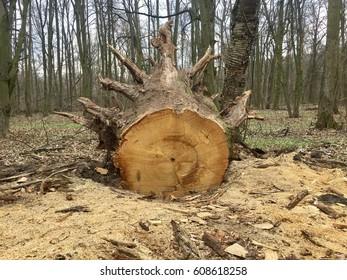 Cut off old tree