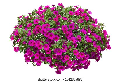 Cut out flowers. Pink flowers isolated on white background. Hanging flowers basket. Flower bed for garden design or landscaping. High quality clipping mask.
