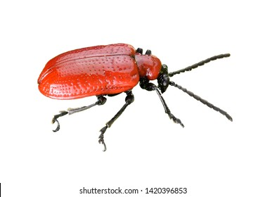 cut out image of a Scarlet lily beetle - Lilioceris Lilii