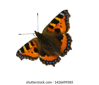 cut out image of a small tortoiseshell Aglais urticae butterfly