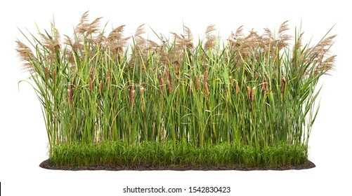 Cut out plant. Reed grass. 				Cattail and reed plant isolated on white background. Cutout distaff and bulrush. High quality clipping mask for professional composition.