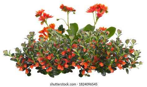 Cut out red flowers. Flower bed isolated on white background. Bush for garden design or landscaping. High quality clipping mask.