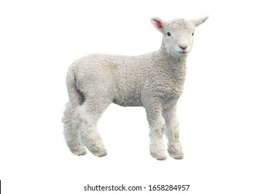 Cut out of young sheep lamb isolated on white background looking at camera. No people. Copy space