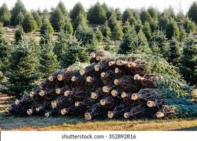 Cut pine trees