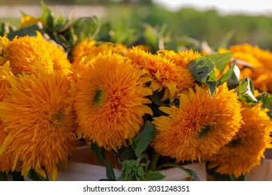 Cut simple bouquets of autumn flowers dahlias and sunflowers in the field, ready to buy. Autumn flowers.