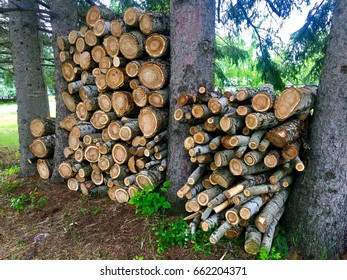 Cut and Stacked European White Poplar Pieces Between Pine Trees Drying in the Summer Sun