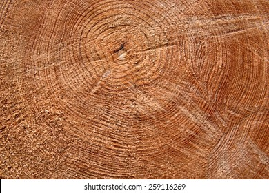 Cut trunk with annual circles