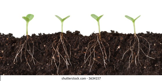 Cutaway of seedlings growing in dirt, roots showing.