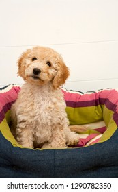 A cute 12 week old Cockapoo puppy bitch on a white background sits in her new bed looking at the camera