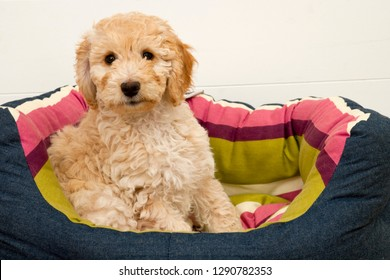 A cute 12 week old Cockapoo puppy on a white background sits in her new bed looking at the camera