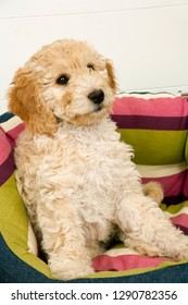 A cute 12 week old Cockapoo puppy on a white background sits in her new bed looking puzzled