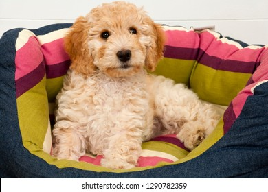 A cute 12 week old Cockapoo puppy on a white background lies in her new bed lookingat the camera