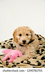 A cute 12 week old Cockapoo puppy on a white background lies on her blanket with a toy