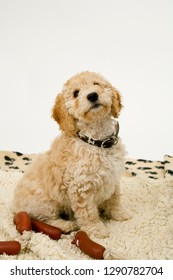 A cute 12 week old Cockapoo puppy on a white background sits obediently on her blanket by toy sausages