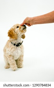 A cute 12 week old Cockapoo puppy bitch on a white background sits obediently for a treat