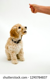 A cute 12 week old Cockapoo puppy on a white background sits obediently for a treat