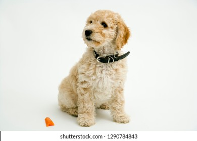A cute 12 week old Cockapoo puppy bitch on a white background sits obediently by a half chewed carrot