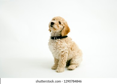A cute 12 week old Cockapoo puppy bitch on a white background sits obediently looking upwards