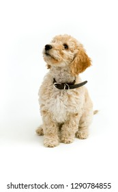 A cute 12 week old Cockapoo puppy on a white background sits obediently looking upwards
