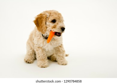 A cute 12 week old Cockapoo puppy on a white background sits with a carrot in her mouth
