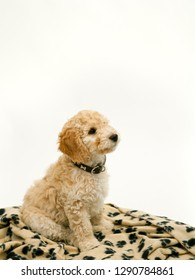 A cute 12 week old Cockapoo puppy bitch on a white background sits obediently on her blanket