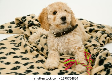 A cute 12 week old Cockapoo puppy bitch on a white background lies on her blanket with a toy