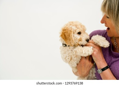 A cute 12 week old Cockapoo puppy bitch on a white background is playfully cuddled by her proud middle aged 50's  lady owner