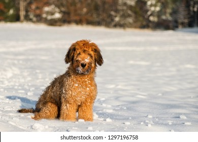 Cute 4 month ´ s briard puppy (french shepherd) with snow-covered fur sits on snowy meadow in nice sunset lighting in nice winter day.