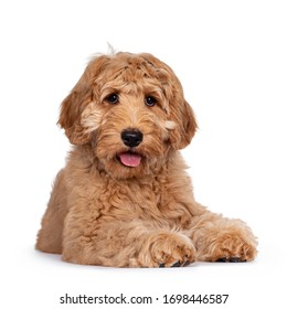 Cute 4 months young Labradoodle pup, laying down facing front. Looking at camera with open mouth and tongue out. Isolated on white background.