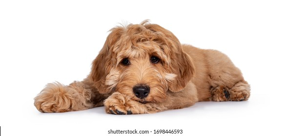 Cute 4 months young Labradoodle pup, laying down side ways. Haed on paws looking very sad beside camera with closed mouth. Isolated on white background.