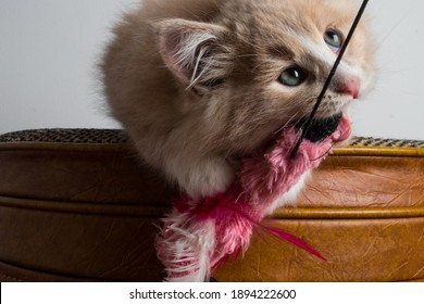 Cute 8 week old orange kitten playing with pink teaser toy. Play is important for kitten's development. Baby cat chases toy on a string. Fun time with a newly adopted pet. Male pounces on feather toy.