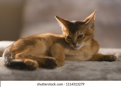 cute abyssinian kitten relaxing on couch