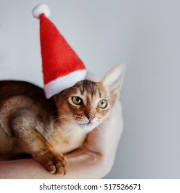 Cute Abyssinian kitten in a Santa cap, holiday is coming