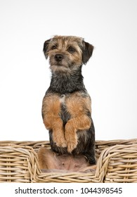 Cute and adorable Border terrier portrait. Image taken in a studio. The puppy is doing an opossum trick and looking funny.