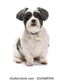 Cute, adorable and cuddly black or grey and white Lhasa Apso dog isolated on a pure white studio background