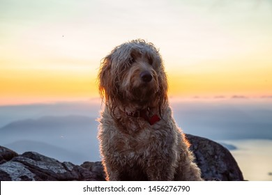 Cute and Adorable Dog, Goldendoodle, is on top of a Mountain during a sunny summer sunset. Taken on St Mark's Summit, West Vancouver, British Columbia, Canada.