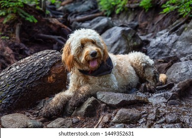 Cute and Adorable Dog, Goldendoodle, is relaxing on a dirty ground in nature. Taken in Cypress Provincial Park, West Vancouver, British Columbia, Canada.