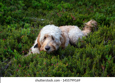 Cute and Adorable Dog, Goldendoodle, is relaxing on green grass in nature. Taken in Cypress Provincial Park, West Vancouver, British Columbia, Canada.