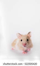 Cute adorable gold syrian hamster in studio, white background
