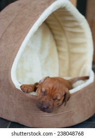 Cute and adorable little Rhodesian Ridgeback whelp sleeping peaceful. The little puppy is one week of age.