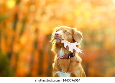 Cute and adorable nova scotia duck tolling retriever dog holding an autumn leaf in its mouth on an orange background. Portrait.