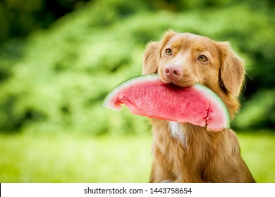 cute and adorable nova scotia duck tolling retriever dog aka toller holding a watermelon in its mouth