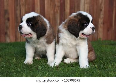 Cute and Adorable Saint Bernard Pups